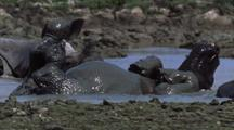Indian Rhino Rolling And Wallowing In Mud