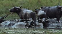 Group Of Water Buffalo Wallowing In Mud, Tails Flicking