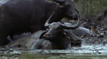Mws Group Of Water Buffalo Wallowing In Mud, Flapping Ears