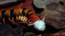 Giant Centipede Grips Body Of Dead Frog And Munches On It's Gut