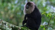 Lion-Tailed Macaque Sitting In Tree