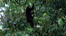 Lion-Tailed Macaque Climbing Up Into Tree