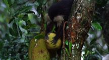 Lion-Tail Macaque Breaking Off Jack Fruit, Then Carrying It Away Up Tree
