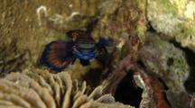 Mandarinfish Swimming Above Coral