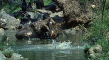 Japanese Macaques Play Leapfrog In Water, Jumping In And Out Of Waterhole