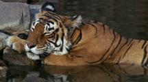 Tiger Dozes Half In And Half Out Of Water, Eyes Closed, Ears Tweaked Back