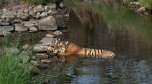 Tiger Dozes With Head On Paws, Half In And Half Out Of Water