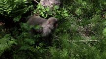 Tail-Less Japanese Macaque Walks On All Fours Through Fern Bushes, Looks Toward Camera For A Moment