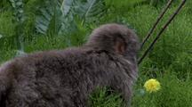 Japanese Macaque In Grass Grabs And Eats Dandelion Flower. Looks Over Shoulder Towards Camera