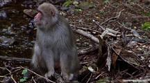 Japanese Macaque Sits By Stream Pondering, Genitals Visible