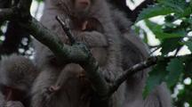Close Up Japanese Macaque Mother And Baby In Group, Baby Falls, Mother Grabs And Saves Baby