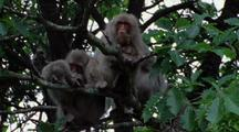 Group Of Japanese Macaques Rest In Tree, One Grooming Another, Mother And Baby Snuggle