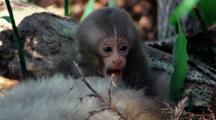 Baby Japanese Macaque Yawns While Perching On Mothers Furry Belly, Looking Around, Scratches Head With Foot, Loses Balance Slightly