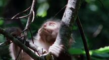 Baby Japanese Macaque Sits On Furry Belly Of Sleeping Mother