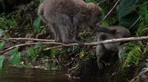 Japanese Macaque Climbs Branch Out Of Water, Grabs Another Monkey By The Scruff Of The Neck, Bounces On Branch