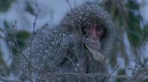 Japanese Macaque Sits Amid Branches During Snowstorm, Looks Around. Fur Speckled With Snow.