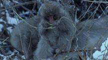 Japanese Macaque Youth Eats Split Branch In Bush During Snowstorm, Adult Passes By.
