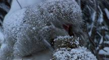 Japanese Macaque Grooms Another (Obscured) During Snowstorm