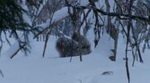 Wide Shot Mother Japanese Macaque Carries Baby On Back Through Snowy Forest