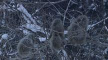 Japanese Macaques Huddle In Snowy Branches As One Climbs To Next Tree