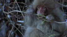 Young Japanese Macaques Huddles In Snowy Branches As Older Monkey Strips And Eats Branch. Camera Pans R - L As Younger Macaque Exits Frame, Pan Back L - R As Monkey Shreds And Snaps Branch