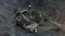 Snow Leopard Drags Kill Uphill Across Scree, Stops, Checks Behind, Resumes, Exits Frame
