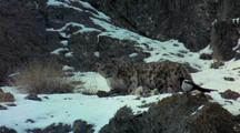 Snow Leopard Drags Kill Up Snowy Rocky Slope. Stops And Looks Directly At Camera, Tasting The Air With It's Tongue. Bird Lands Nearby. They Eyeball Eachother, Then Snow Leopard Looks Back At Camera.