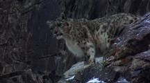 Snow Leopard Stalking In Rocky Slopes. Is Very Still And Breathing Deeply.