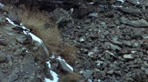 Snow Leopard Hunts Bird On Scree, Makes A Jump For It, Knocking Snow From Rock As Bird Flies Off Exiting Frame