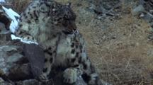 Snow Leopard Sits On Snowy Rocks, Trying To Keep Balance. Ears Back, Alert For Prey