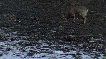 Bharal Nibbling Scrub On Scree Slope, Scrapes Ground With Hoof
