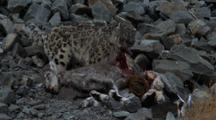 Snow Leopard Tears Flesh From Dead Bharal