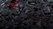 Contented Snow Leopard Rests Between Feeding, Dead Bharal Nearby, Bloody Ribs Exposed.