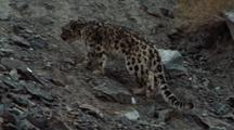 Snow Leopard Enters Frame, Travels Up Scree Slope, Stalking