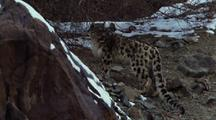 Snow Leopard Stalking Up Rocky Snowy Slope, Looks Back Over Shoulder