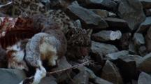 Snow Leopard Bounds Down Slope To Protect Bharal Carcass