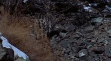 Snow Leopard Climbs Up Scree, Looks Back Over Shoulder