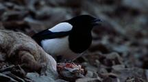 Magpie Pecks Hard At Bharal Carcass, Possibly A Hoof