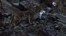 Snow Leopard Walks Up Craggy Slope, Disappears Behind Rocks