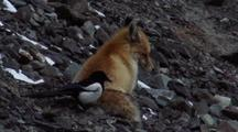 Magpie Pecks At Foxes Tail. Fox Snaps At Bird And Scares It Off