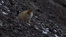 Red Fox Walks Across Scree, Followed By Two Magpies