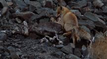 Red Fox Scavenges From Bharal Carcass, Rips Of Bit Of Meat And Sits Down To Eat It