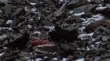 Four Black Birds Squabble Over Chunk Of Meat, Looks Like A Spinal Column!
