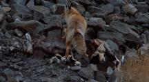 Red Fox Stands On Bharal Carcass And Pulls Meat Off It