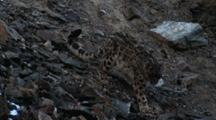Snow Leopard Climbs Down Scree, Exits Frame