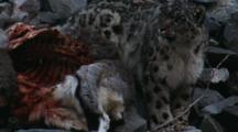 Snow Leopard Stands Next To Prized Bharal Carcass, Gaping Bloody Ribs Exposed
