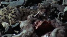 Pan L - R Sunbathing Snow Leopard Reclining Contentedly Next To Bloody Bharal Carcass
