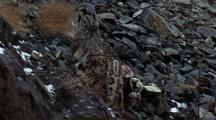 Mid Shot Snow Leopard Drags Bharal Carcass Up Scree, Turns And Climbs Backwards To Get Better Results
