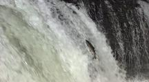 Salmon Leaps Up Waterfall