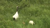 Two Cranes Stand In Reeds, One Forageing, Moves To Reveal Chick Standing Behind